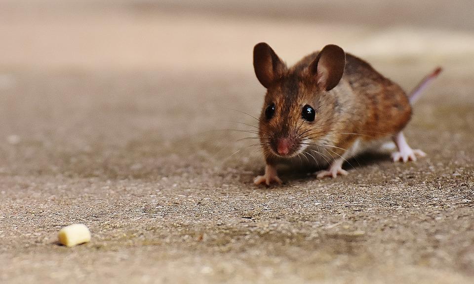 dit zijn de beste manieren om muizen te bestrijden - nieuws, Gartenarbeit ideen